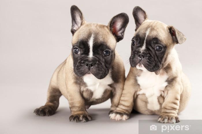 Fotomural Estándar Bulldog francés cachorros - Bulldogos francéses