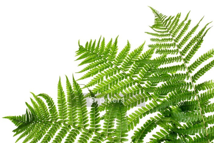 Three green leaves of fern isolated on white Wall Decal - Seasons