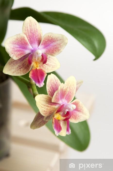 Vinylová fototapeta Phalaenopsis květy orchidejí - Vinylová fototapeta
