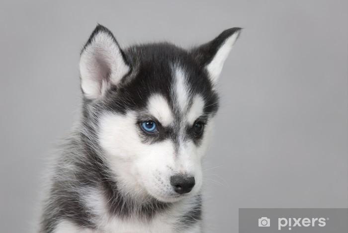 Naklejka Pixerstick Husky Puppy - Husky