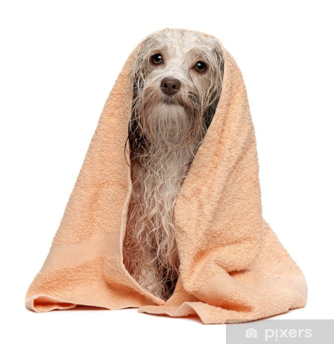 Våd chokolade havanese hund efter bad Fototapet • Pixers® - Vi lever for forandringer