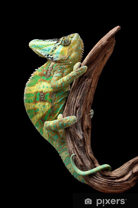 Naklejka Pixerstick Chameleon na Driftwood - Tematy