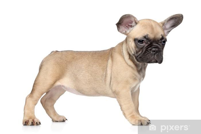 Ranskanbulldoggi Pentu