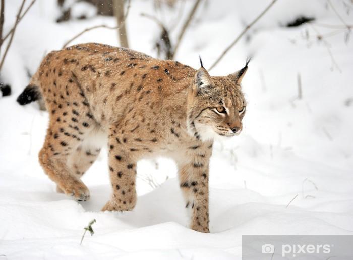Papier peint vinyle Lynx - Mammifères