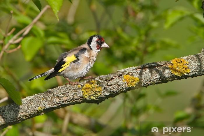 Fototapeta winylowa Stieglitz - Ptaki