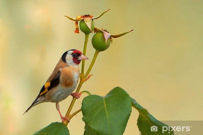 Nálepka Pixerstick Cardellino (Carduelis carduelis) - Ptáci