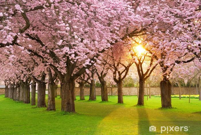 Fotomural Estándar Escena fascinante primavera en sol de la tarde - Cerezas
