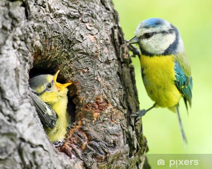 Fototapeta winylowa Sikora modra (żółty Cyanistes). - Ptaki