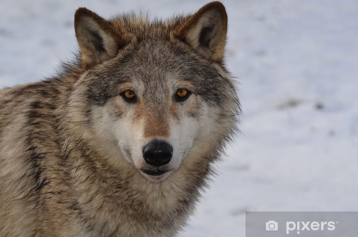 Sticker Pixerstick Loup nord-américain - Thèmes