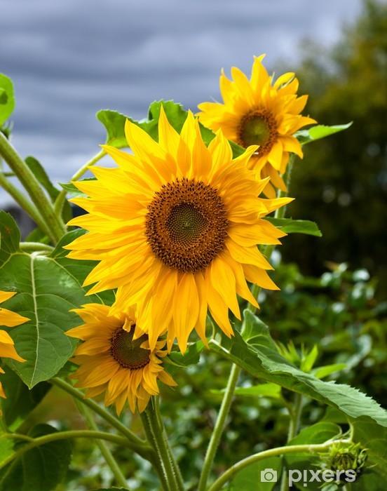 Naklejka Pixerstick Żółte słoneczniki na tle nieba - Rośliny