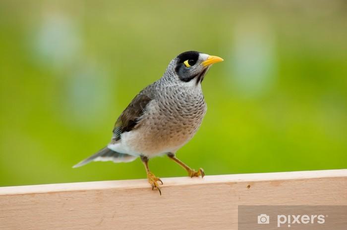 Nálepka Pixerstick Hlučný Miner - australský rodák pták. - Ptáci