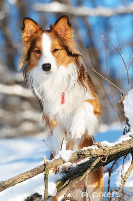 Vinyl Fotobehang Sable (rood) border collie portret in de winter - Zoogdieren