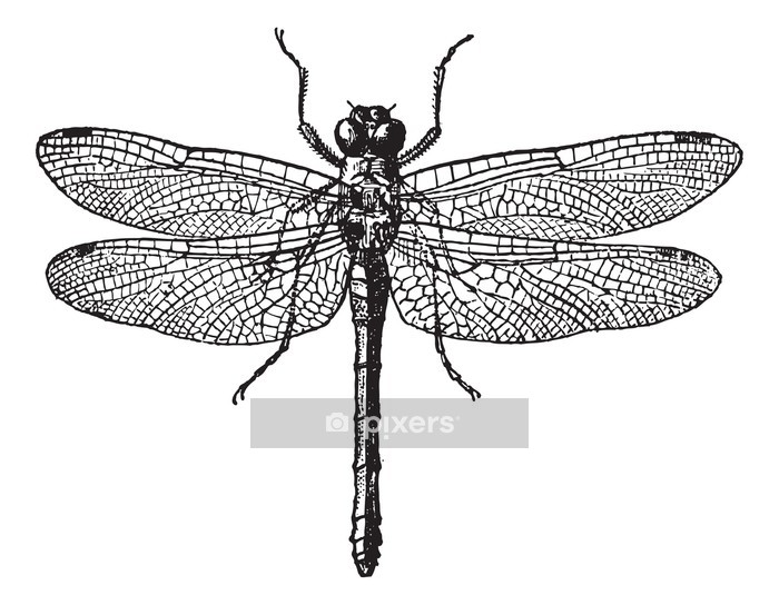 Fig 1. Dragonflies, vintage engraving. Wall Decal - Other Other