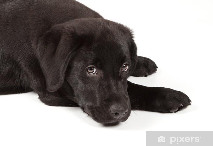 Fototapete Schwarz Schokolade Labrador Retriever Welpen Pixers Wir Leben Um Zu Verandern