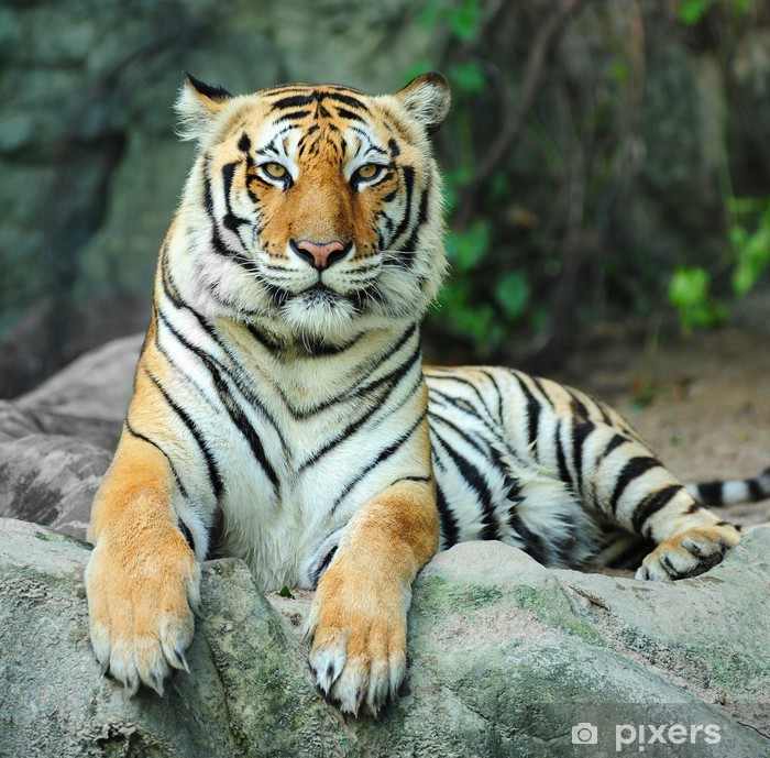 tiger on rock Poster - Themes