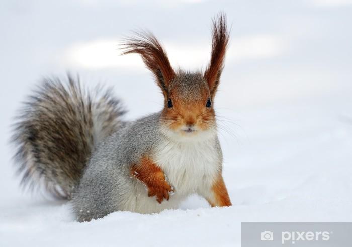 1de81ef78a2 Rød egern på den hvide sne. Fototapet • Pixers® - Vi lever for ...