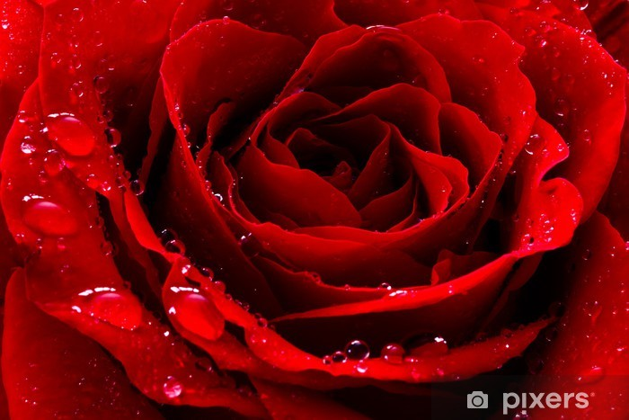 red rose with water drops Vinyl Wall Mural - Themes