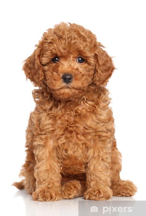 Fototapeta winylowa Miniature Poodle Puppy - Ssaki