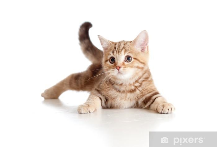 Pixerstick Aufkleber Ein verspieltes Kätzchen. Brittish Rasse. Tabby. - Säugetiere
