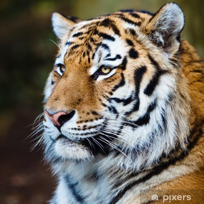 Closeup of a Siberian tiger also know as Amur tiger (Panthera ti Vinyl Wall Mural - Themes