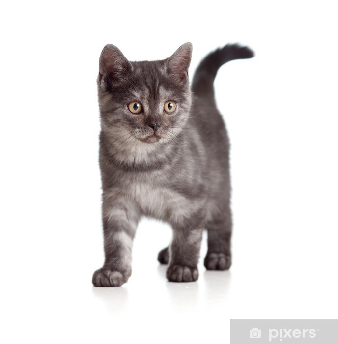 Papier peint vinyle Un chaton espiègle. Race britannique. Tigré. - Mammifères