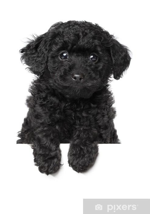 Black Toy Poodle Puppy Vinyl Wall Mural Mammals