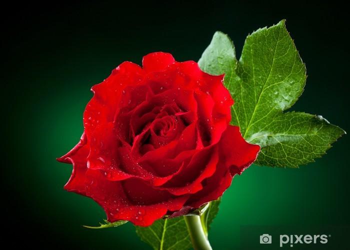 Fototapeta winylowa Bliska, z czerwona róża na ciemnym tle zielony - Kwiaty