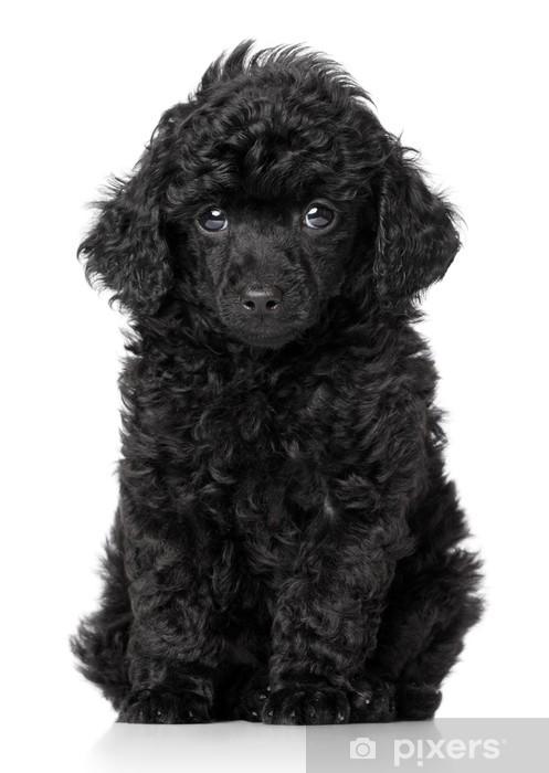 Fototapeta winylowa Czarny pudel toy puppy - Ssaki