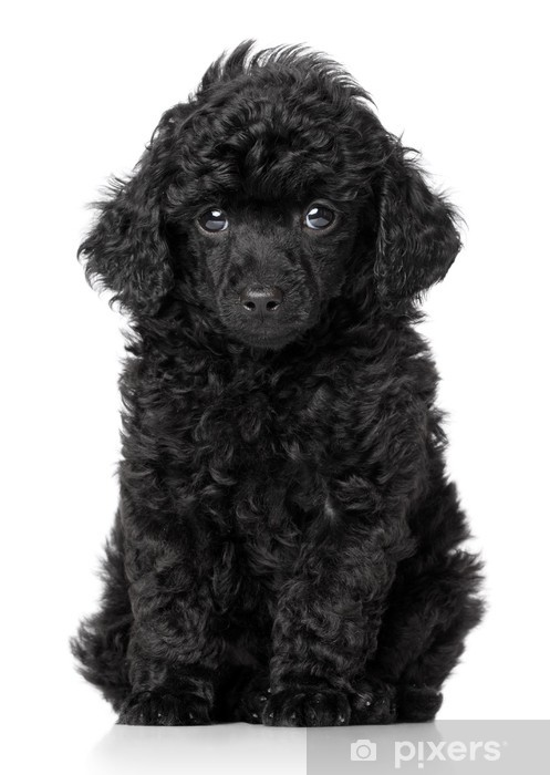 Black Toy Poodle Puppy Wall Mural Pixers 174 We Live To
