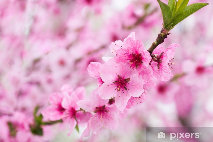 Blooming tree in spring with pink flowers Pixerstick Sticker - Styles