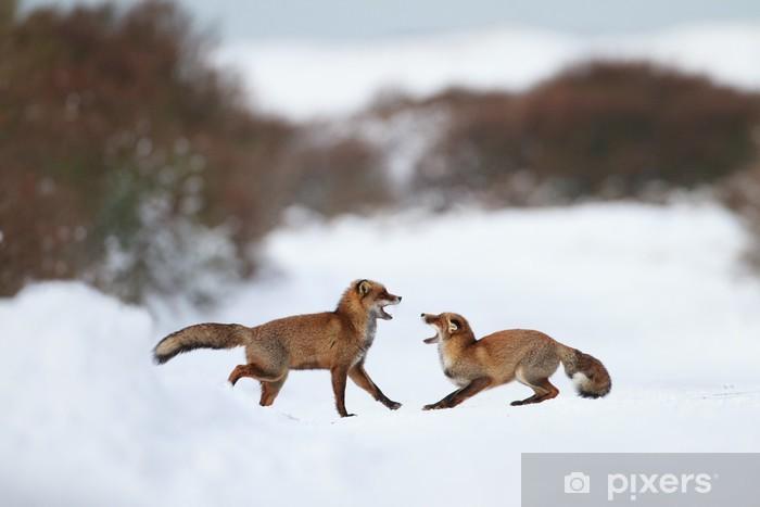 Vinyl Fotobehang Het bestrijden van vossen in de sneeuw - Zoogdieren