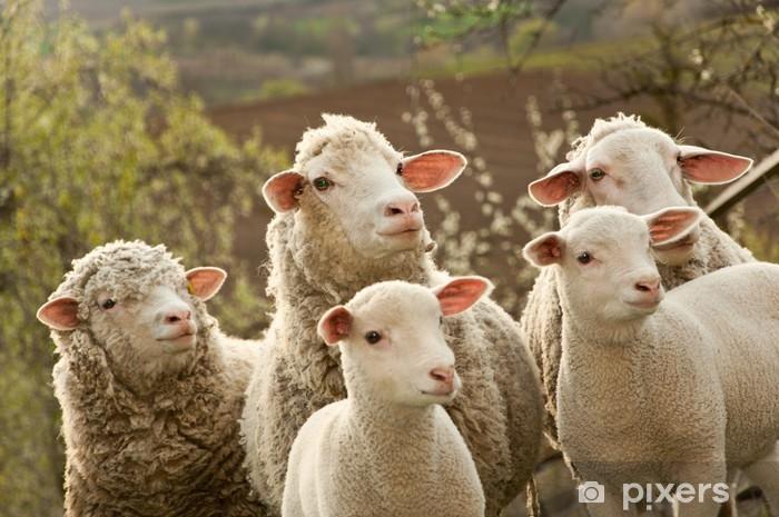 Papier peint vinyle Moutons et agneaux sur le pâturage - Mammifères