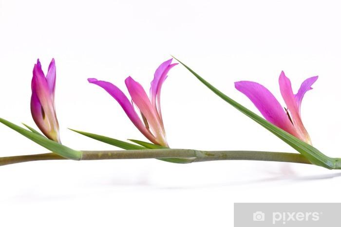 Naklejka Pixerstick Italico Gladiolus - mieczyk italicus - Kwiaty
