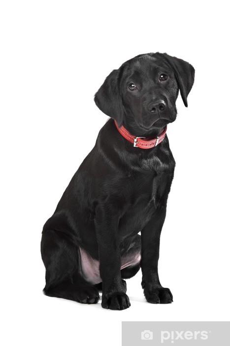 Vinyl Fotobehang Zwarte labrador puppy - Zoogdieren
