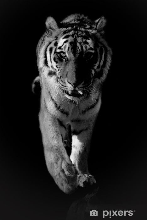 tiger black and white Vinyl Wall Mural - Themes
