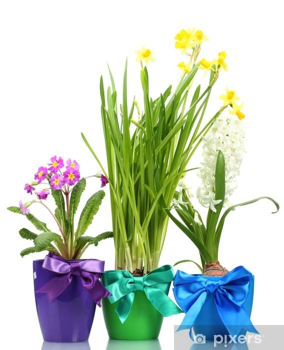 Naklejka Piękne Wiosenne Kwiaty W Doniczkach Na Białym Pixers