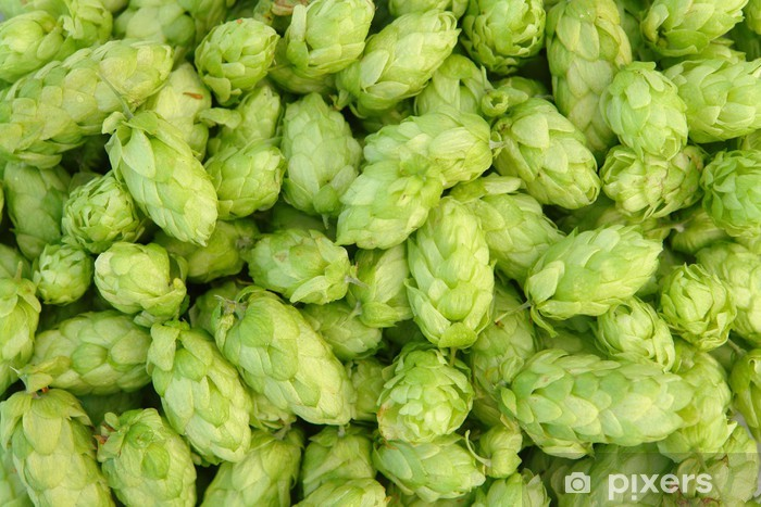 Fototapeta winylowa Zielony chmielu - Rośliny