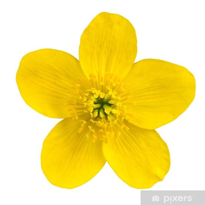 Marsh Marigold Yellow Flower Isolated On White Wall Mural Pixers