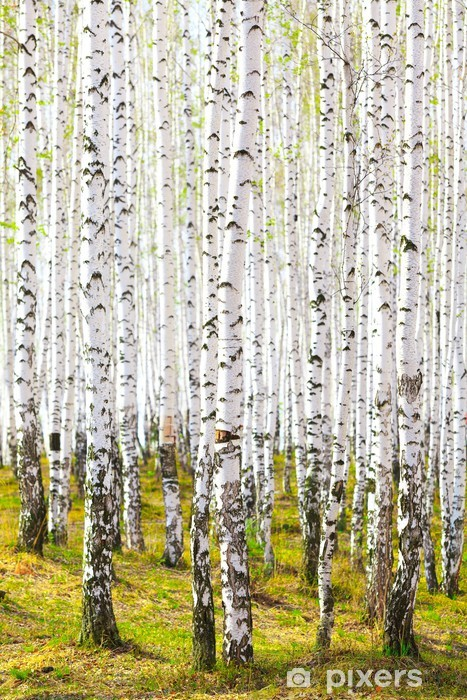 Spring in birch forest Self-Adhesive Wall Mural - Themes