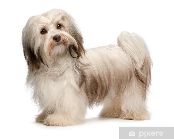 Fototapete Schöne Steh Schokolade Havaneser Hund