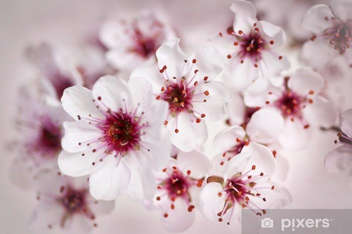 Fototapeta winylowa Kwiaty wiśni - Tematy