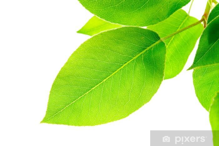 Fototapeta winylowa Zielone liście na białym tle - Drzewa
