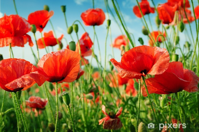 poppies on green field Self-Adhesive Wall Mural - Themes
