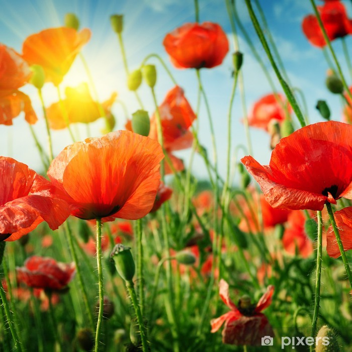 poppies field in rays sun Vinyl Wall Mural - Themes