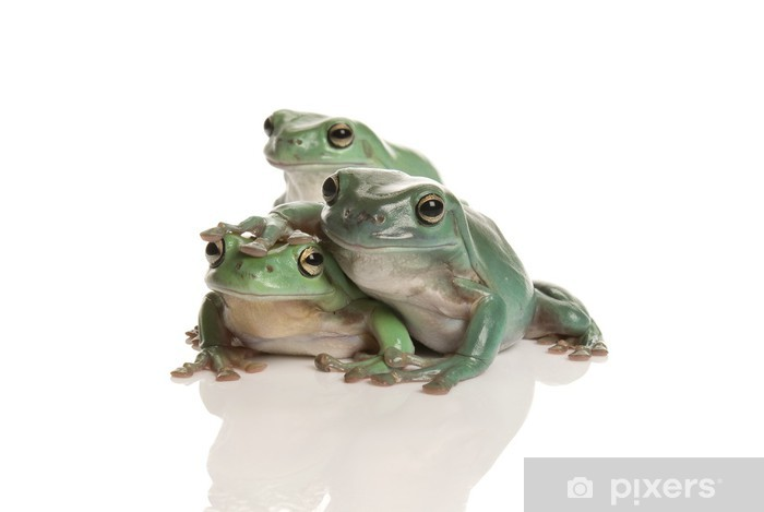 Sticker Pixerstick Trois magnifique rainette verte, Litoria splendida, sur fond blanc - Autres Autres