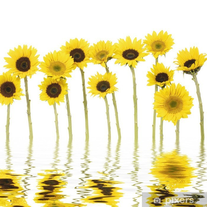 Naklejka Pixerstick Długa łodyga słonecznika z refleksji - Kwiaty