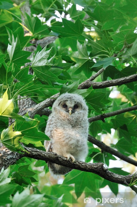 Fototapeta winylowa Pisklęta sowy - Ptaki