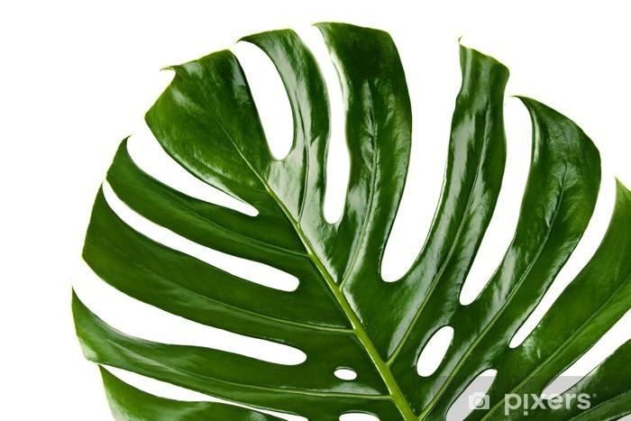 Papier Peint Feuille Verte De La Plante Monstera Pixers Nous
