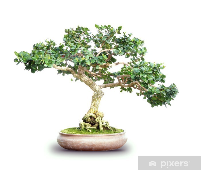 Wall Mural - Vinyl Small Bonsai Tree Isolated on White