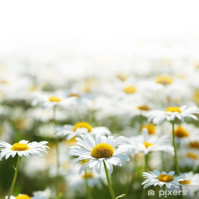 Plakat Camomilesobraz - Kwiaty